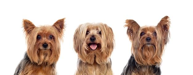 Três cães yorkshire