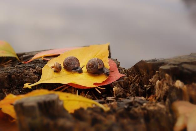 Três caracóis rastejam um após o outro ao longo da folha amarela caída na margem do lago, no outono.