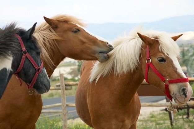 Três cavalos puro-sangue caminhando juntos