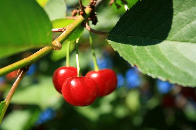 Três cerejas vermelhas no galho com folhas.