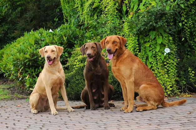 Três, chesapeake, baía, retriever, cachorros