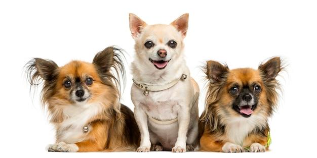 Três chihuahua em frente a uma parede branca