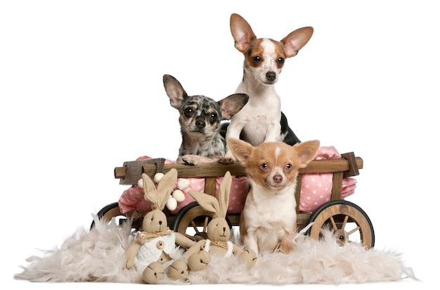 Três chihuahuas com carroça de cama de cachorro e bichos de pelúcia de páscoa