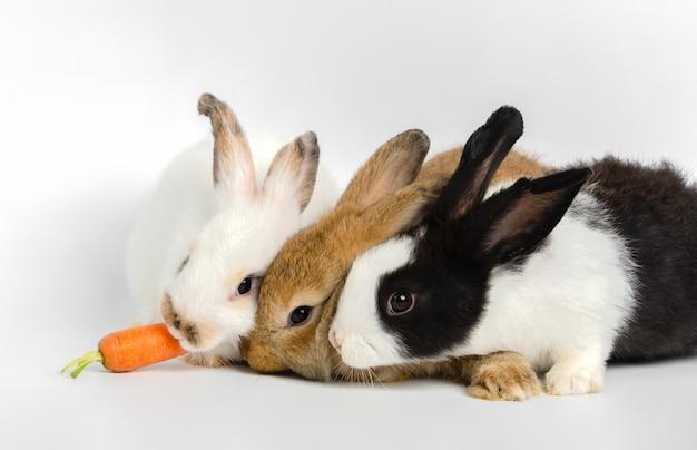 Três coelhos pequenos com uma cenoura fresca no fundo branco. alimentando o animal.