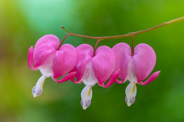 Três corações rosa asiáticos sangrando