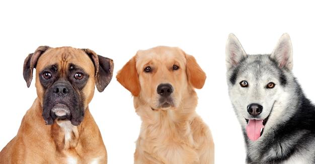 Três, diferente, adulto, cachorros