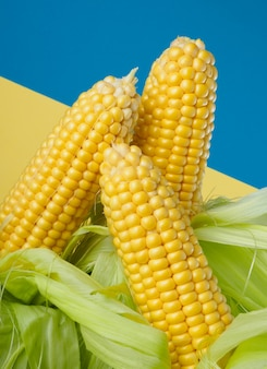 Três espigas de milho doces em um fundo de dois tons