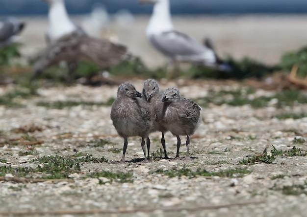 Três filhotes da gaivota do cáspio estão juntos na areia perto da colônia de gaivotas