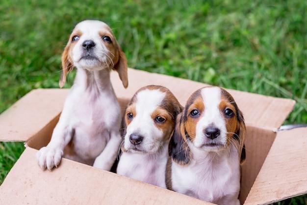 Três filhotes da raça são cães da estônia em uma caixa de papelão, acondicionados para venda