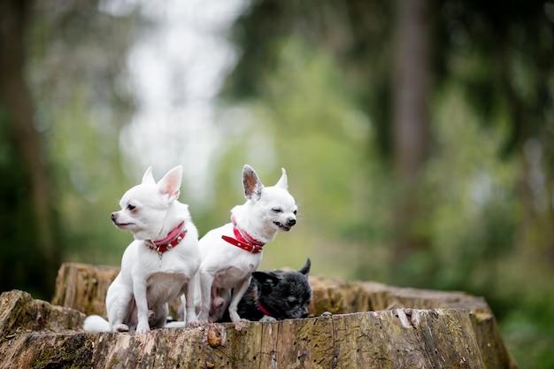Três filhotes de cachorro chihuahua engraçado sentado na árvore de coto.