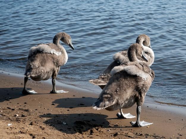 Três filhotes de cisne cinza à beira-mar