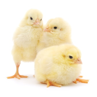 Três filhotes na frente de um fundo branco