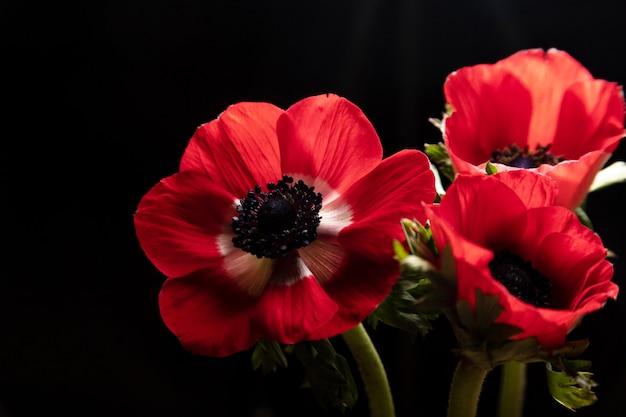 Três flores de anêmona vermelha