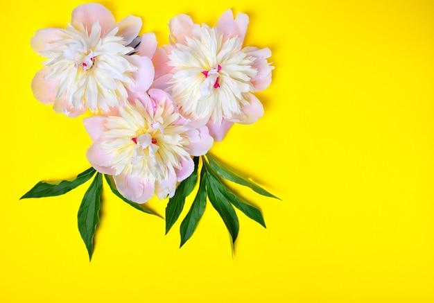 Três flores de peônia rosa em um fundo amarelo