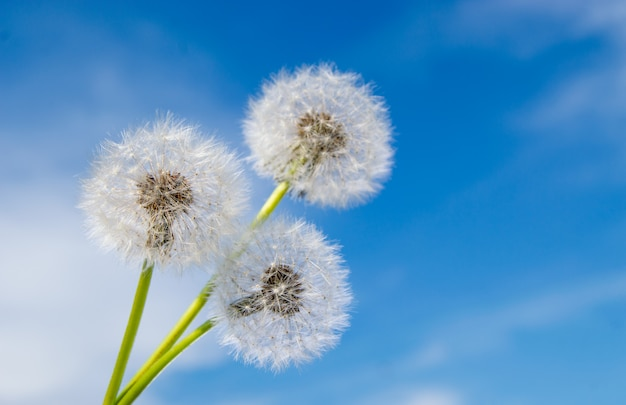 Três flores-leão com sementes em dia de sol na superfície do céu azul profundo