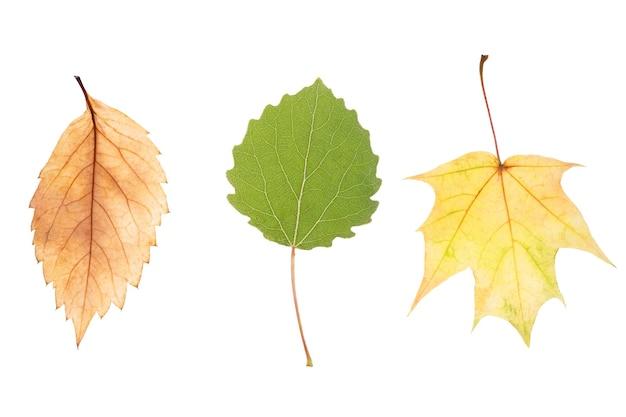 Três folhas de bordo naturais isoladas no fundo branco