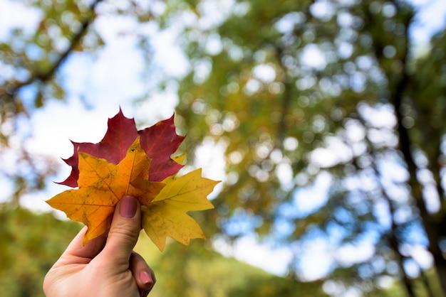 Três folhas de plátano do outono amarelas, alaranjadas e vermelhas na mão da menina. floresta de outono.