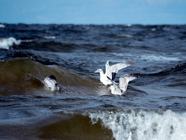 Três gaivotas caçam peixes nas ondas do mar