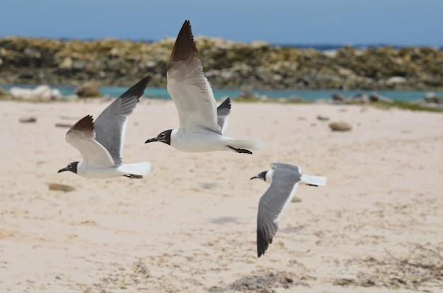 Três gaivotas risonhas do caribe voando sobre baby beach