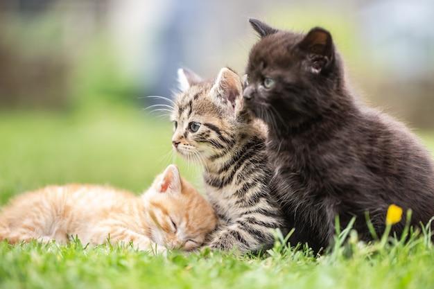 Três gatinhos brincando e deitados no jardim na grama ou observando curiosamente o que está acontecendo.
