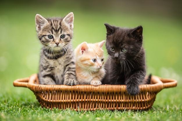 Três gatinhos coloridos curiosamente estão sentados na cesta marrom no jardim.