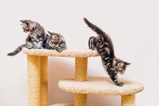 Três gatinhos maine coon com uma cauda longa e fofa estão brincando em um poste contra uma parede de luz