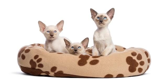 Três gatinhos oriental shorthair, 9 semanas de idade, sentado na cama de gato