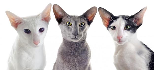 Três gatos orientais