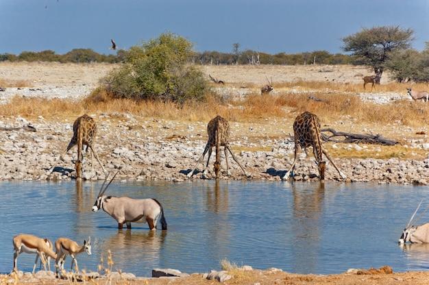 Três girafas bebendo do poço de água. reserva natural da natureza e vida selvagem africana, etosha, namíbia