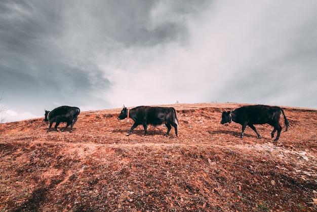 Três iaques tibetanos negros em uma pastagem em montanhas com nuvens escuras
