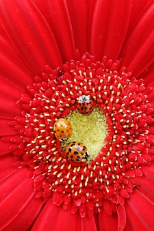 Três joaninhas em um close up gerbera vermelho brilhante