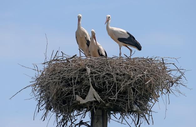 Três jovens cegonhas-brancas prontas para voar para fora do ninho