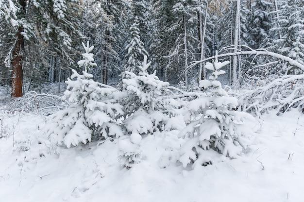 Três jovens lariço árvores cobertas de neve