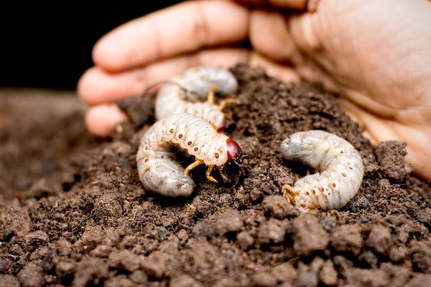 Três larvas de besouro no solo.
