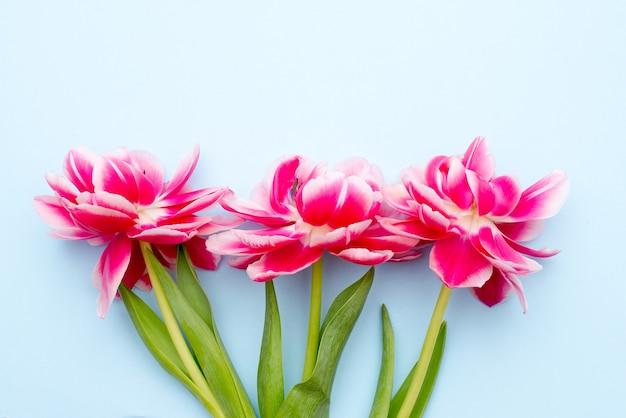 Três lindas tulipas rosa na superfície azul
