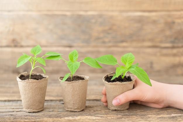 Três mudas verdes em vasos e mão humana na mesa de madeira