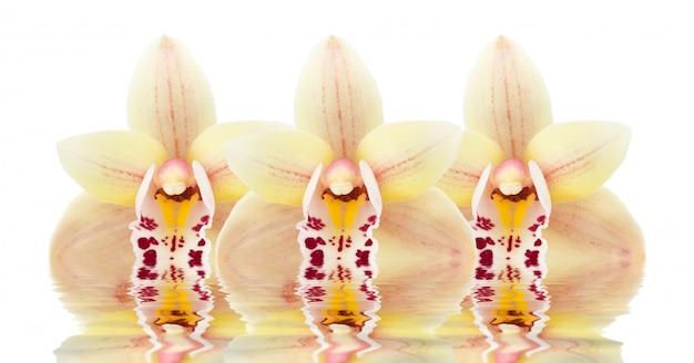 Três, orquídea, flores, refletido dentro, a, água