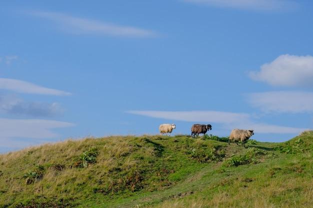 Três ovelhas em um prado alpino no horizonte de cores diferentes.