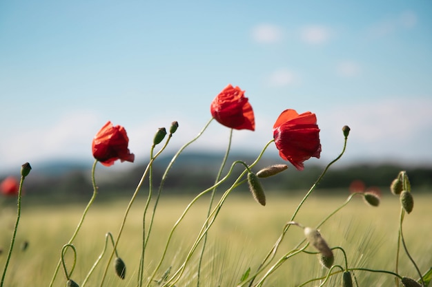 Três, papoula vermelha, flores, contra, a, fundo, de, céu azul