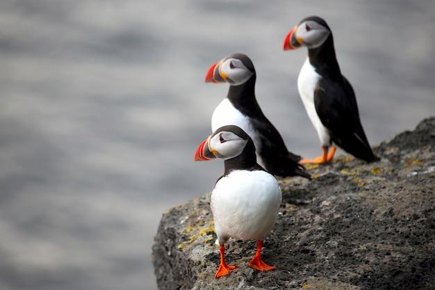 Três pássaros papagaios-do-mar sentados em um penhasco da islândia