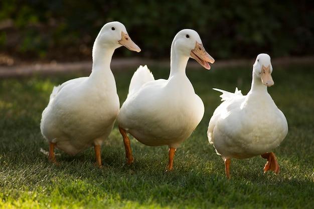 Três patos brancos