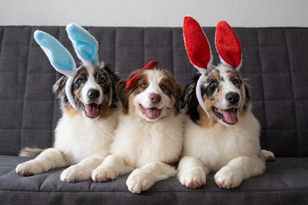 Três pequeno engraçado pastor australiano cachorro vermelho merle cachorrinho usando orelhas de coelho.