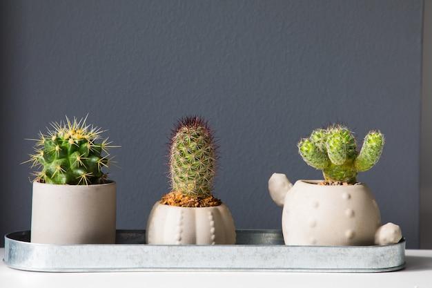 Três pequenos cactos em um vaso de flores sobre um fundo cinza