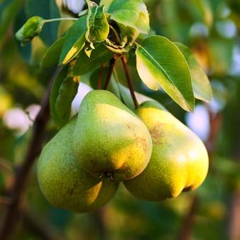 Três peras verdes com folhas no galho