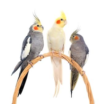 Três periquitos perching