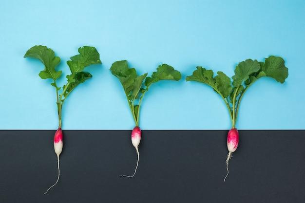 Três plantas frescas de rabanete em um fundo preto e azul. o conceito de cultivo de rabanetes.