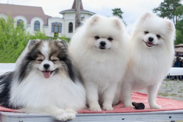 Três pomeranian spitz sentados juntos e olhando para a câmera