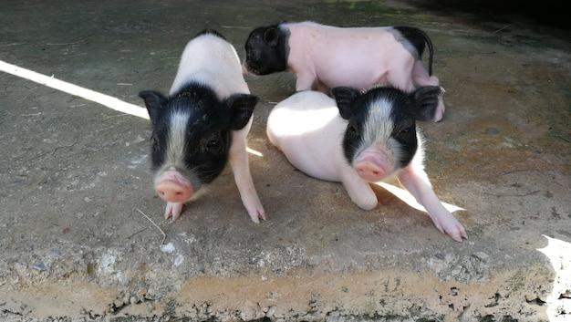 Três porquinhos na fazenda, tailândia