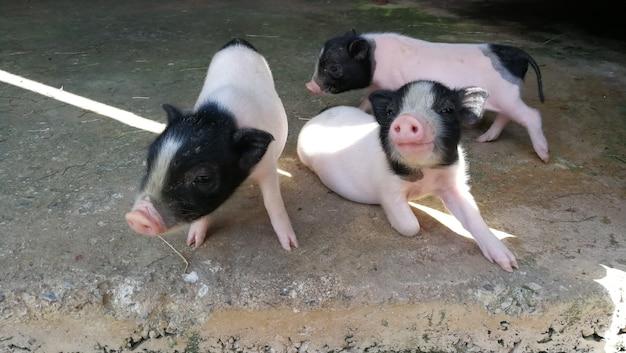Três porquinhos na fazenda