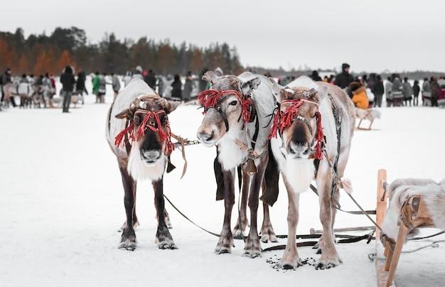 Três renas em arreios com trenós de madeira